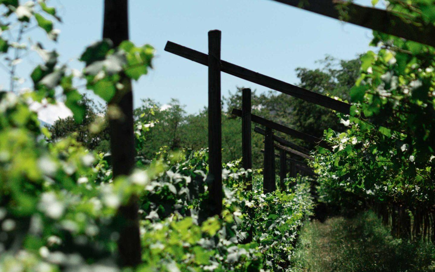pathway through wine vineyard